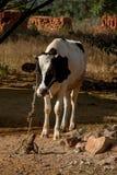 En svartvit ko som binds upp Royaltyfria Foton