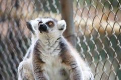 En svartvit maki som ser upp, nattliga primat för strepsirrhine Royaltyfri Fotografi