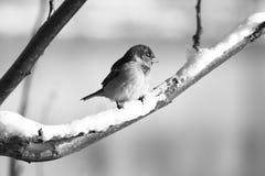 En svartvit närbild av en sparv på ett snöig fattar fotografering för bildbyråer