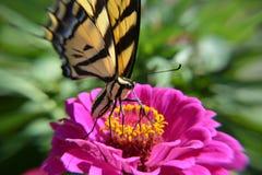 En Swallowtail fjäril läppjar nektar från en blomma Arkivfoto