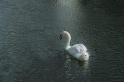 En Swan Arkivbilder