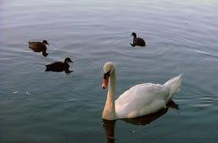 En swansimning med coots Fotografering för Bildbyråer