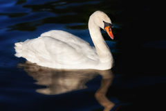 en swanwhite Arkivbilder
