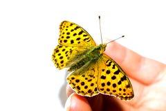 En tämjd fjäril på det kvinnliga fingret Arkivfoto