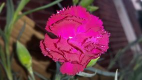En tänd upp Dianthuscaryophyllus royaltyfri fotografi
