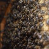 En tät klunga av svärmar av bin i de funktionsdugliga bina, surren och livmodern för rede i en svärm av bin biet detailed honung  Royaltyfri Fotografi