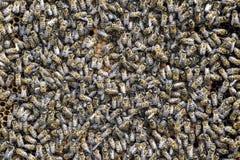 En tät klunga av svärmar av bin i de funktionsdugliga bina, surren och livmodern för rede i en svärm av bin biet detailed honung  Arkivbilder