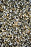 En tät klunga av svärmar av bin i de funktionsdugliga bina, surren och livmodern för rede i en svärm av bin biet detailed honung  Arkivfoton