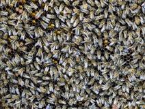 En tät klunga av svärmar av bin i de funktionsdugliga bina, surren och livmodern för rede i en svärm av bin biet detailed honung  Royaltyfri Bild
