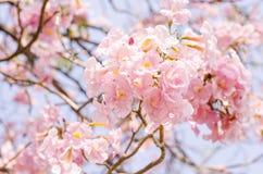 En Tabebuia blomma Arkivfoto