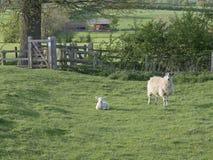 En tacka som står near ligga för lamm Arkivbilder