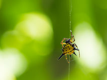 En taggig Orb Weaver Spider royaltyfria foton