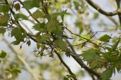 En talgoxe i ett träd Sett från avlägset Det är en siktssikt åt sidan france Royaltyfri Fotografi
