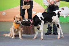 En tam hund matar ett förtjusande litet behandla som ett barn kalven från flaskan Arkivfoton