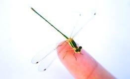 En tam slända på ett finger Arkivbild