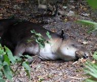 En tapir som sover under ett träd royaltyfri foto