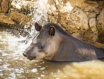 En tapirbadning arkivbild