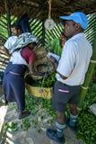 En teplockare tömmer hennes morgonskörd av sidor nära det Adams maximumet i Sri Lanka Arkivfoton