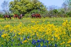 En Texas Field Full av vildblommor och brunthästar Arkivbild