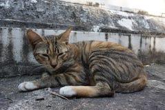 En Thaïlande, beaucoup de chats sans abri vivent dans des temples Photographie stock libre de droits