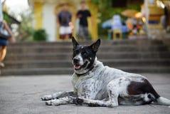 En Thaïlande, beaucoup de chiens sans abri vivent dans des temples Photos libres de droits