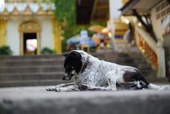 En Thaïlande, beaucoup de chiens sans abri vivent dans des temples Image libre de droits