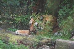 En tiger i zoo arkivbild