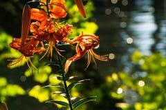 En Tiger Lily Flower vid floden Royaltyfri Bild