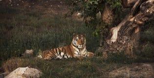 En Tiger Lying nära det gamla trädet som vilar royaltyfri foto