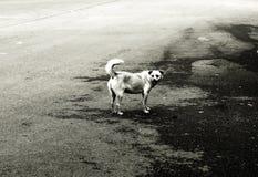 En tillfällig hund Arkivfoton