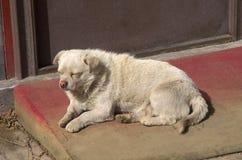 En tillfällig hund, i att ligga ner förutom den stora väggen av Kina i Peking Royaltyfri Foto