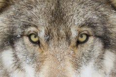 En timmerWolf Canis lupus med den gula ögoncloseupen i vintersnö fotografering för bildbyråer
