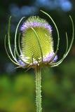 En tistel som snöras åt med små purpurfärgade blommor Arkivbild