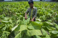 En tobakarbetare som mäter tobak, spricker ut i Dhaka, manikganj, Bangladesh Royaltyfria Foton