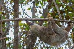 En 2 toed sengångare Arkivfoton