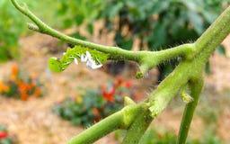 En tomat/en tobak Hornworm som värden till parasitiska braconidgetingägg Royaltyfri Fotografi