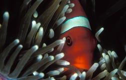 En tomatclownfisk som når en höjdpunkt ut ur dess anemonhem Arkivbilder