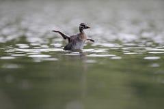 En tonåring röd-hånglade simning för doppingPodicepsgrisegena och sträckning av dess vingar ovanför vattnet i ett stadsdamm i huv arkivfoton
