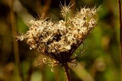 En torr blomma Royaltyfria Foton