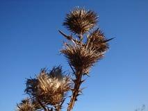 En torr och taggig taggbuske på ett torrt fält arkivbilder