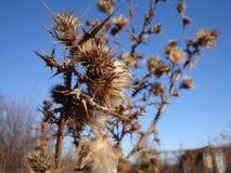 En torr och taggig taggbuske på ett torrt fält arkivbild