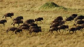 En torr säsong tar hållen Att att undvika svält många gnu irrar den östliga afrikanska savannet som jagar regnet royaltyfri foto