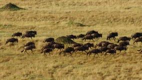 En torr säsong tar hållen Att att undvika svält många gnu irrar den östliga afrikanska savannet som jagar regnet royaltyfri fotografi