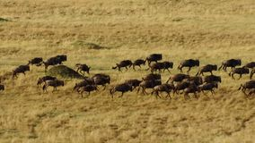 En torr säsong tar hållen Att att undvika svält många gnu irrar den östliga afrikanska savannet som jagar regnet royaltyfria bilder