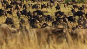En torr säsong tar hållen Att att undvika svält många gnu irrar den östliga afrikanska savannet som jagar regnet arkivfoto