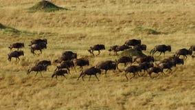 En torr säsong tar hållen Att att undvika svält många gnu irrar den östliga afrikanska savannet som jagar regnet arkivbild