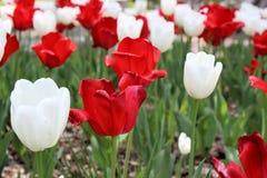 En trädgård av röda och vita tulpan Royaltyfria Bilder