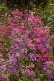 En trädgård full av Primulas Royaltyfri Fotografi