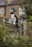 En trädgård i London, England, UK - en vit och svart katt på ett staket; en molnig dag royaltyfri fotografi
