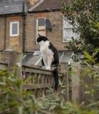 En trädgård i London, England - en vit och svart katt på ett staket; en molnig dag royaltyfri fotografi
